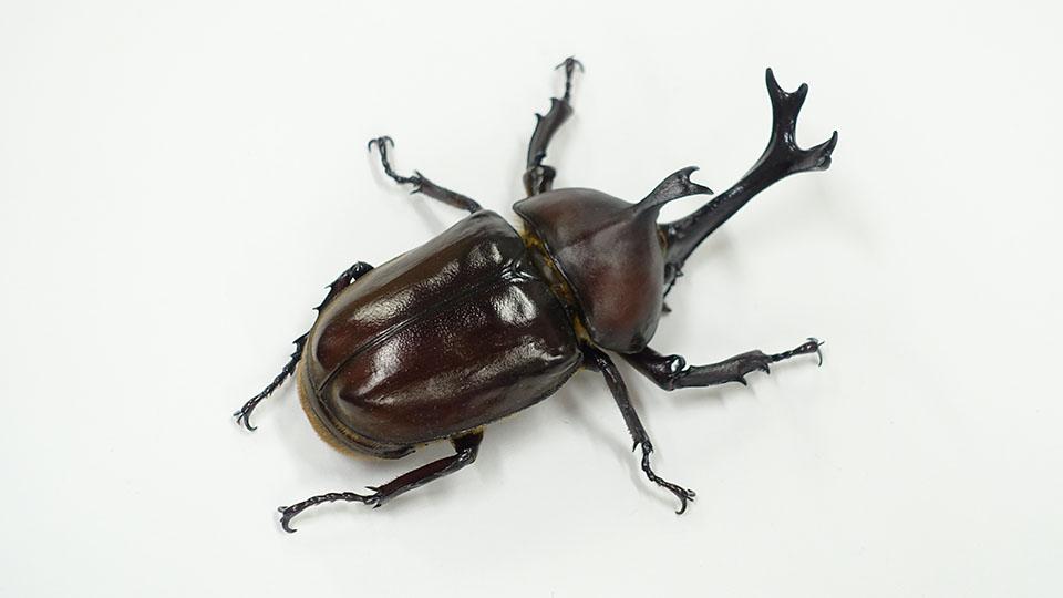 カブトムシ♂ (学名: Trypoxylus Dichotomus)