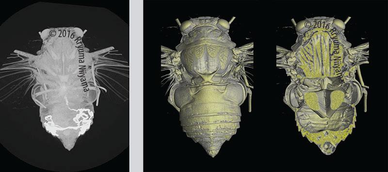 ミンミンゼミ♂のX線CTデータ