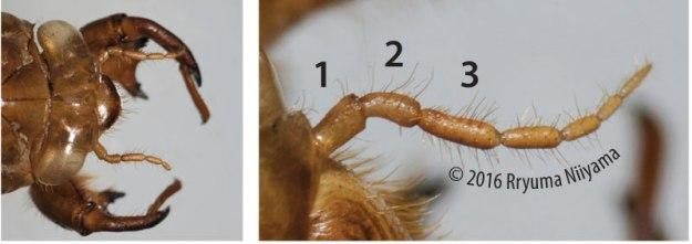アブラゼミの抜け殻と触角