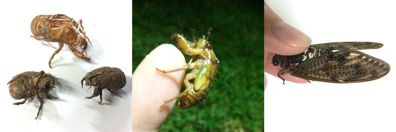 セミの抜け殻いろいろ、羽化前のセミ幼虫、アブラゼミ成虫