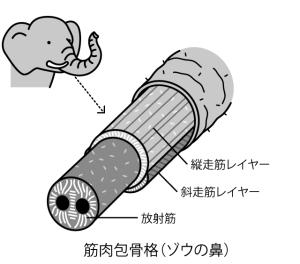 muscular-hydrostat_elephant-trunk
